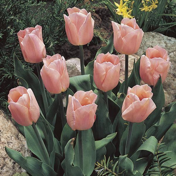 Bilde av Tulipan Apricot Beauty - 10 løk