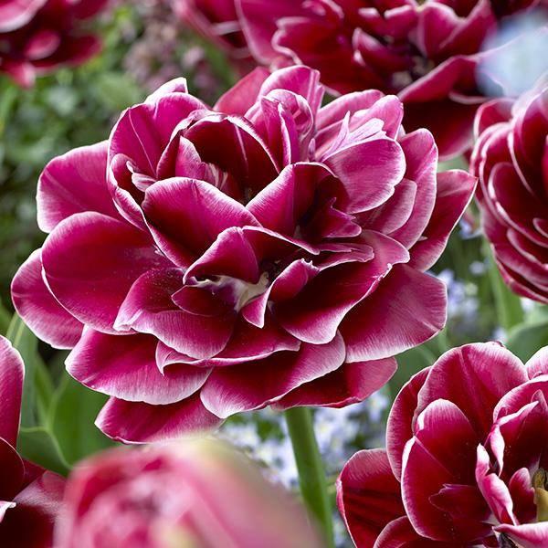 Bilde av Tulipan Dream Touch - 6 løk - Kjempevakker!