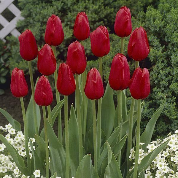 Bilde av Tulipan Kingsblood - 10 løk