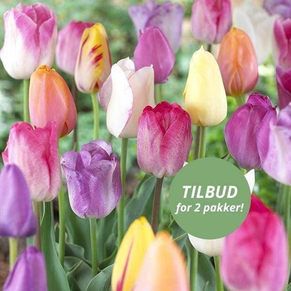 Bilde av Triumph-tulipaner i blanding 20 løk - Nyhet!