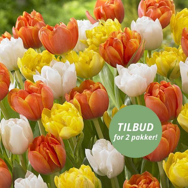 Bilde av Fylte tulipaner i oransje, gult og hvitt - 20 løk