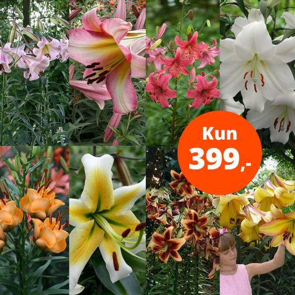 Bilde av Pakketilbud, 24 liljer, kun 399,-