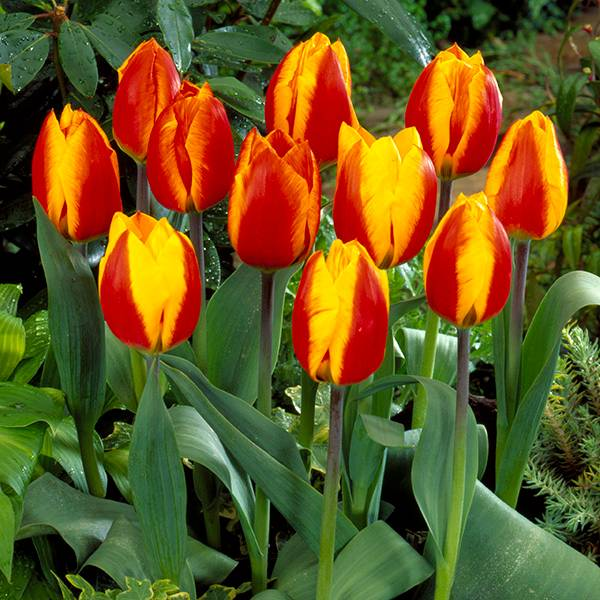 Bilde av Tulipan Flair - 10 løk