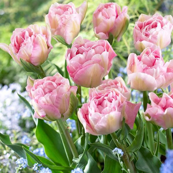 Bilde av Tulipan Angelique - 8 løk