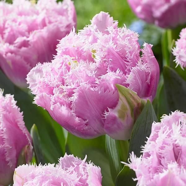 Bilde av Tulipan Cairns - 6 løk - Nyhet!