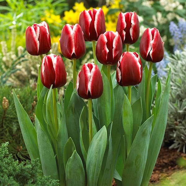 Bilde av Tulipan Armani - 10 løk