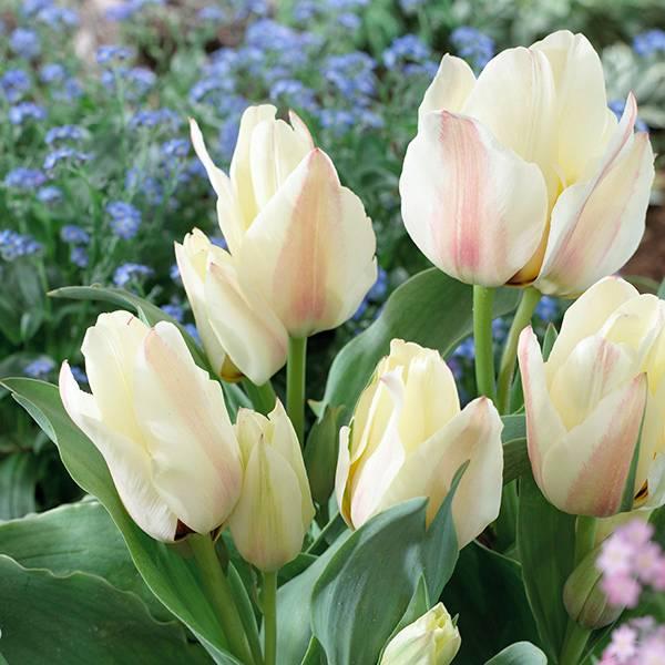 Bilde av Tulipan Albion Star - 8 løk