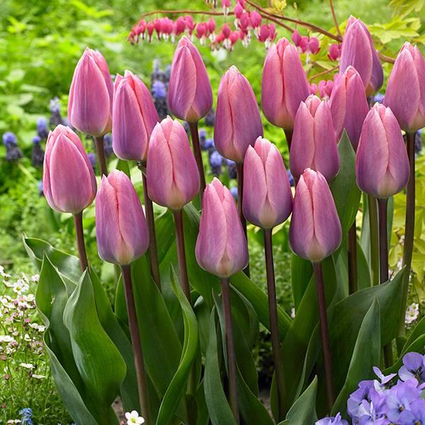 Bilde av Tulipan Light and Dreamy - 8 løk - Nyhet!