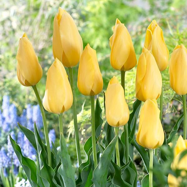 Bilde av Tulipan Big Smile - 10 løk