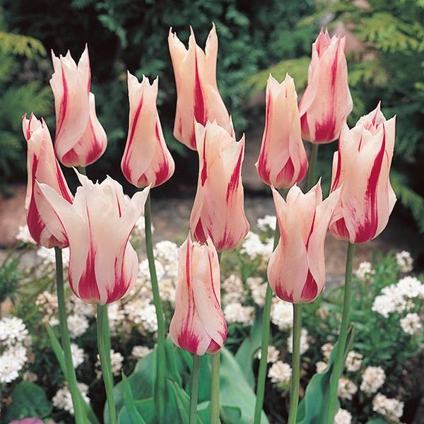 Bilde av Tulipan Marilyn - 8 løk - Nyhet!
