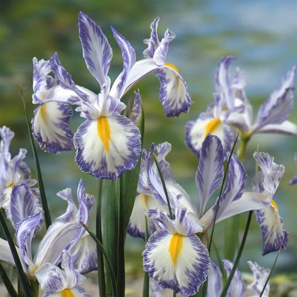 Bilde av Iris hollandica Delft Blue - 10 løk