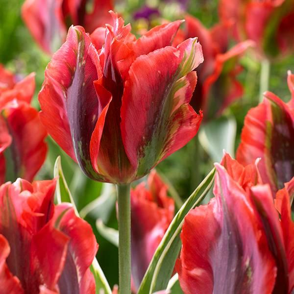Bilde av Tulipan Hollywood - 8 løk - Nyhet!
