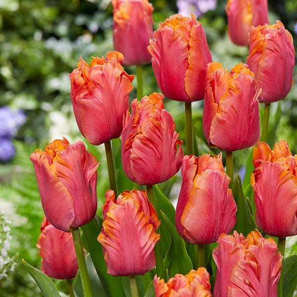 Bilde av Tulipan Amazing Parrot - 7 løk - Nyhet!