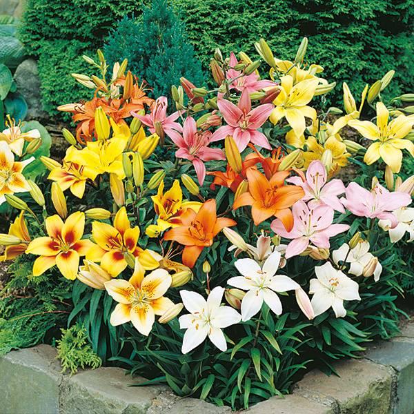 Bilde av Kjempetilbud! 9 stk liljer i blanding. Spar 241